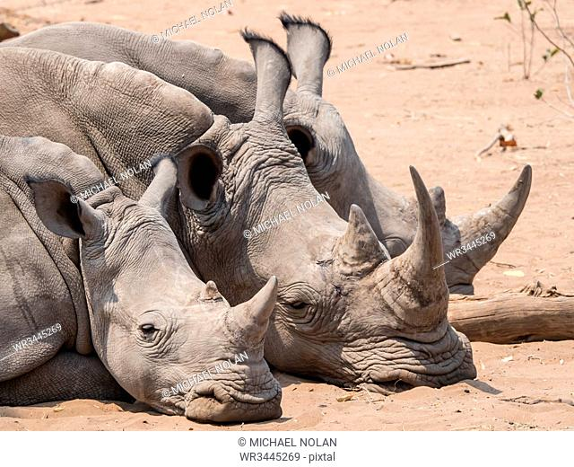 Adult southern white rhinoceros (Ceratotherium simum simum), guarded in Mosi-oa-Tunya National Park, Zambia, Africa