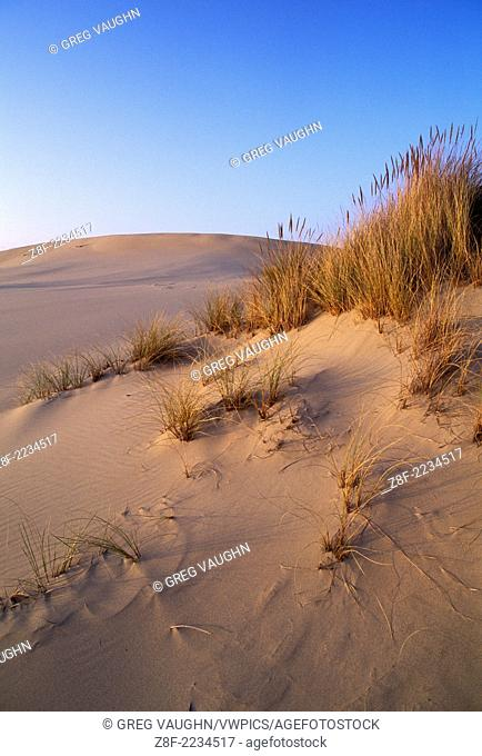 Beachgrass (Ammophila arenaria) on sand dunes; Oregon Dunes National Recreation Area; Oregon coast, USA