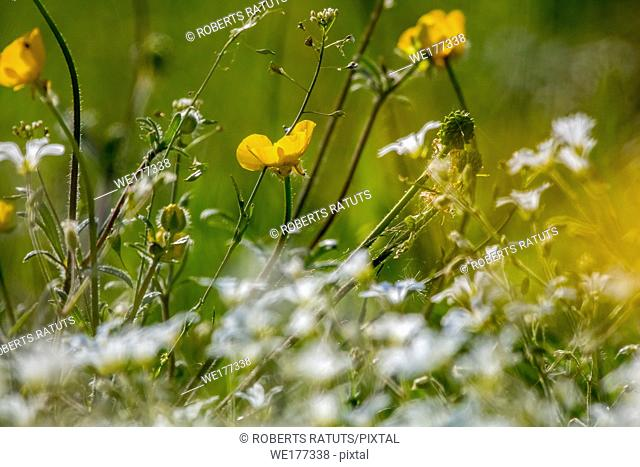 White and yellow wild flowers. Blooming flowers. Beautiful white and yellow wild flowers in green grass as background. Meadow with wild flowers