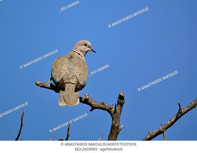 Collared Dove - Streptopelia decaocto, Crete