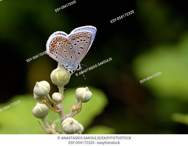 Common Blue - Polyommatus icarus, Greece
