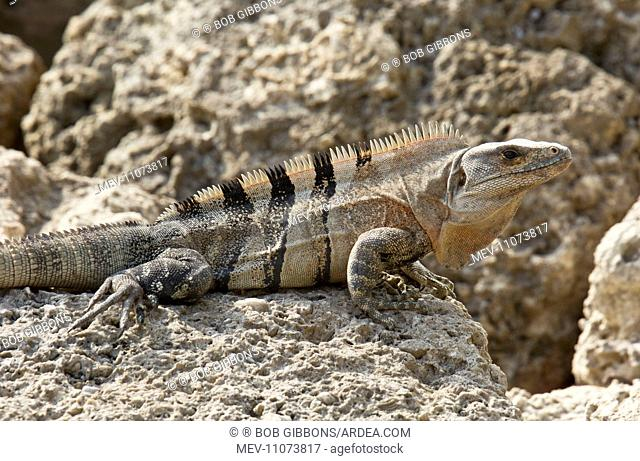 Black Spiny-tailed / Black Iguana / Black Ctenosaur on rocky foreshore, Florida, USA
