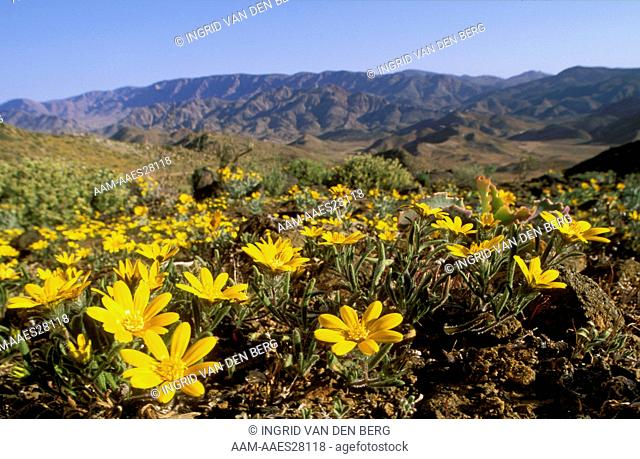 Landscape with Gazanias in Flower, Richtersveld NP, S. Africa