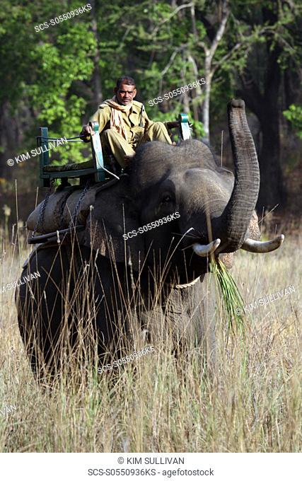 Asian Elephant, Indian Elephant and Mahout Elephus maximus indicus captive adult male and Mahout Bandhavgarh Tiger Reserve, India