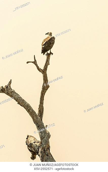 White-bellied sea eagle Haliaeetus leucogaster. Kakadu National Park. Northern Territory. Australia