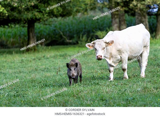 France, Haute Saone, Vesoul, Wild Boar (Sus scrofa), and Charolais cow