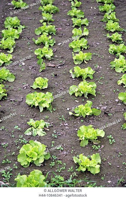 Lettuce, Germany, Europe, Europe, Appetizing, biology, Delicate, German, food, fit, Fresh, garden salad, vegetables, v