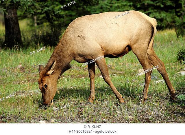 Elk, Cervus elaphus, Cervidae, doe, browsing, mammal, animal, Jasper National Park, Alberta, Canada