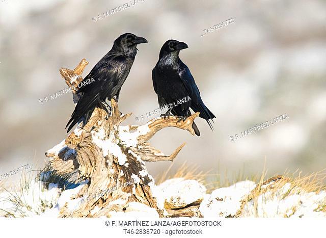 big crow (Corvus corax), photographed in espinar segovia