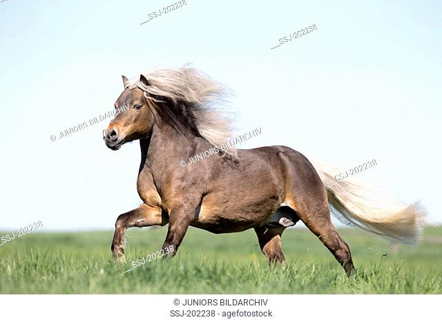German Classic Pony. Liver chestnut stallion galloping on a pasture. Germany