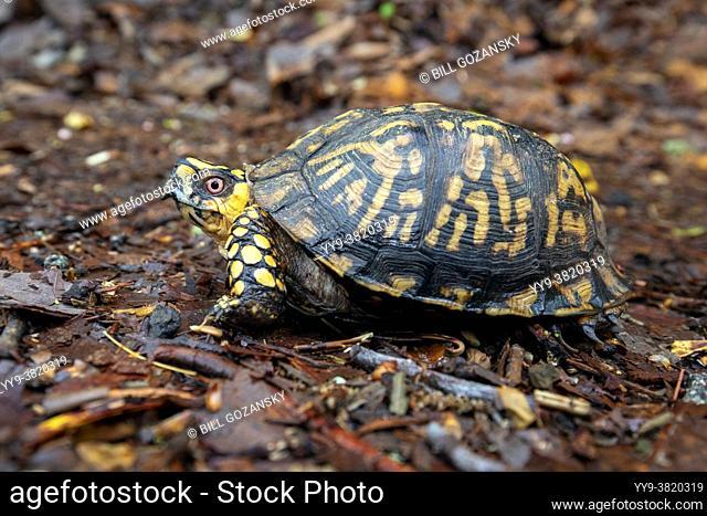 Eastern box turtle (Terrapene carolina carolina) - Pisgah National Forest, Brevard, North Carolina, USA