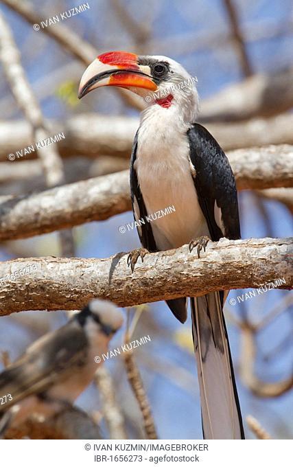 Von der Decken's Hornbill (Tockus deckeni), Tsavo National Park, Kenya, Africa