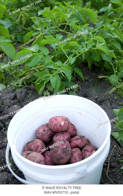 Bucket of freshly picked, locally grown potatoes, Okanagan Centre, BC Canada