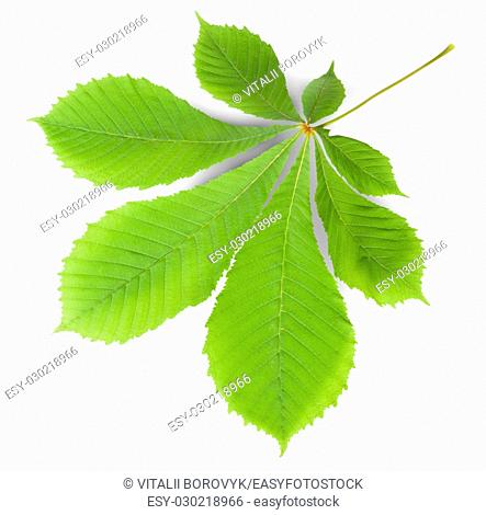 Green Leaf Chestnut Isolated On White Background