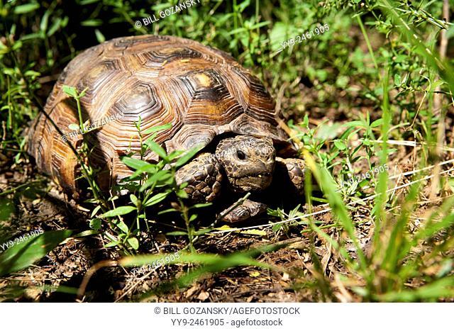 Texas Tortoise (Gopherus berlandieri) - Camp Lula Sams - Brownsville, Texas USA