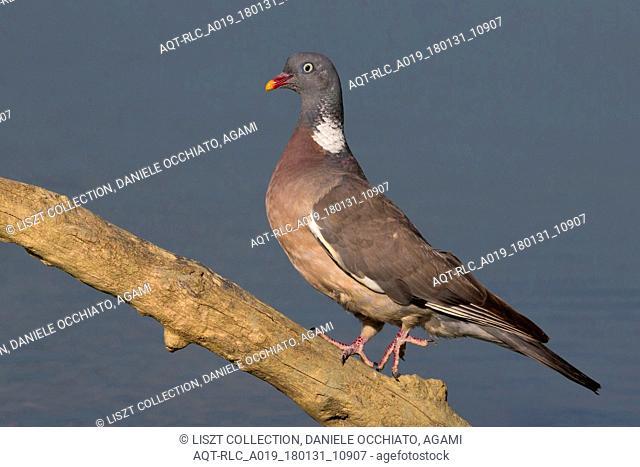 Common Wood Pigeon, Columba palumbus