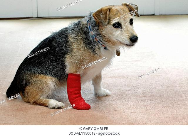 Elderly Jack Russell with bandaged paw