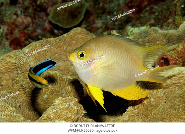 Cleaner Wrasse cleaning Golden Damsel, Labroides dimidiatus, Amblyglyphidodon aureus, Bunaken, North Sulawesi, Indonesia