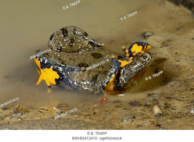 yellow-bellied toad, yellowbelly toad, variegated fire-toad (Bombina variegata), defence posture of the yellow-bellied, unken reflex, Romania