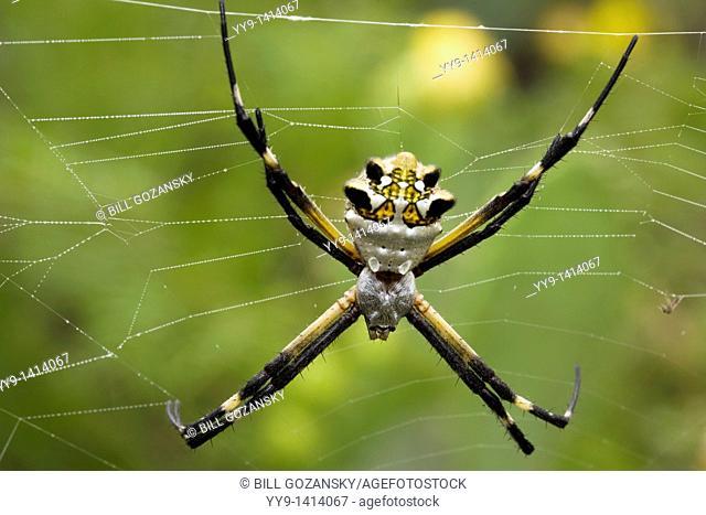 Silver Argiope Spider - Los Novios Ranch - near Cotulla, Texas USA