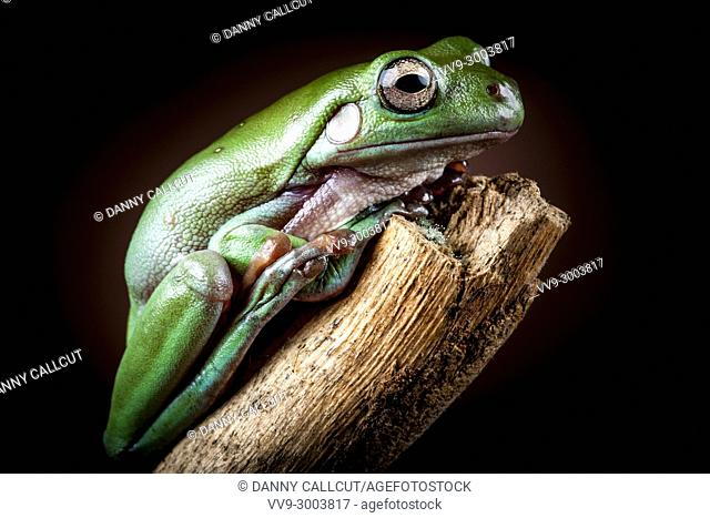 White's Tree Frog, Litoria caerulea