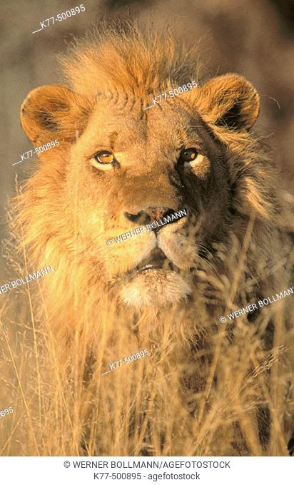 Lion, portrait (Panthera leo) captive. Game Farm. Namibia
