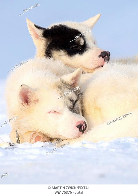 Sled dog during winter in Uummannaq in the north west of Greenland. Dog teams are still draft animals for the fishermen of the villages and stay all winter on...