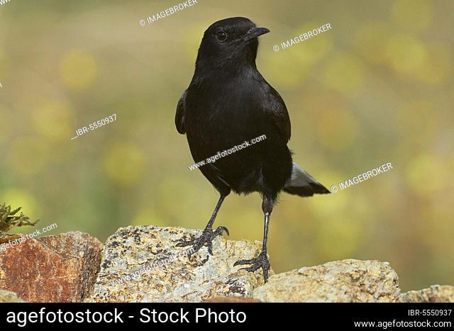 Black Wheatear (Oenanthe leucura), Black Wheatear, Songbirds, Animals, Birds, Black Wheatear, Male, Benalmadena, Malaga, Spain, Andalusia, Europe