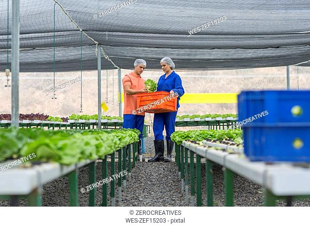 Workers in greenhouse carrying crate with freshly harvested vegetables