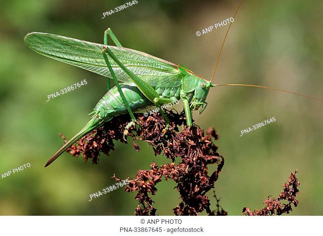Great Green Bush-cricket (Tettigonia viridissima) - Twente, Overijssel, The Netherlands, Holland, Europe