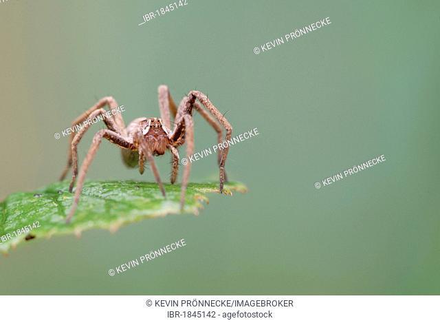Fishing spider, raft spider, dock spider or wharf spider (Dolomedes spec.) on leaf
