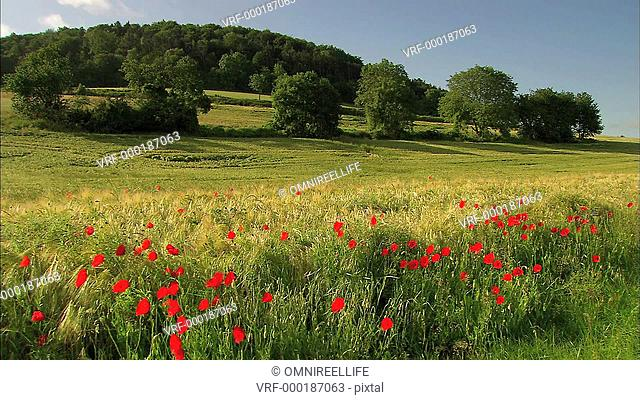 Red Common Poppies blowing in field of grass with trees behind