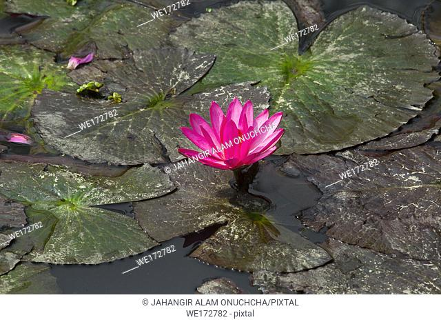 Red water lily in small pond near Dhamrai, Dhala, Bangladesh