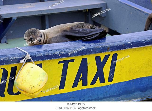 Galapagos sea lion (Zalophus californianus wollebaeki, Zalophus wollebaeki), sitting in water taxi in the harbour, Ecuador, Galapagos Islands, Isabela