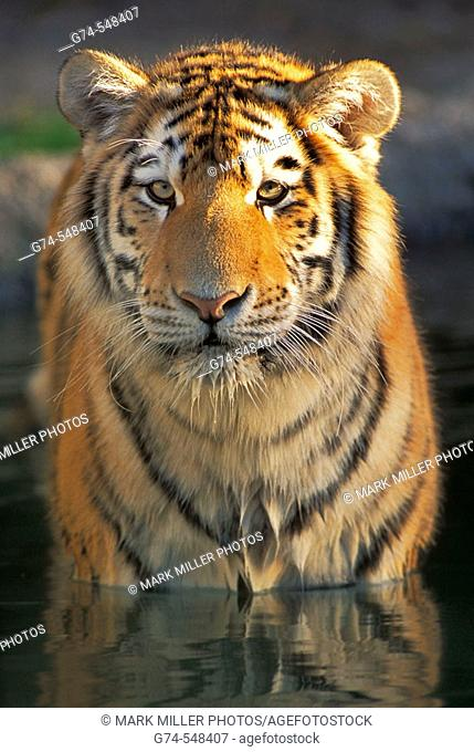 Bengal Tiger reflection in water