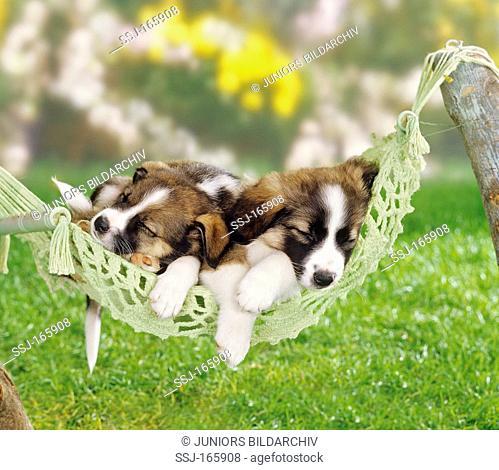two half breed dog puppies  5 weeks  sleeping in hammock