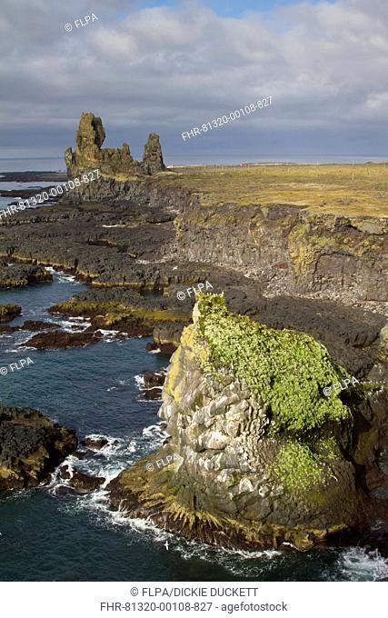 View of lava cliffs and coastline, with Black-legged Kittiwake (Rissa tridactyla) nesting colony, near Hellnar, Snaefellsness Peninsula, Iceland, June