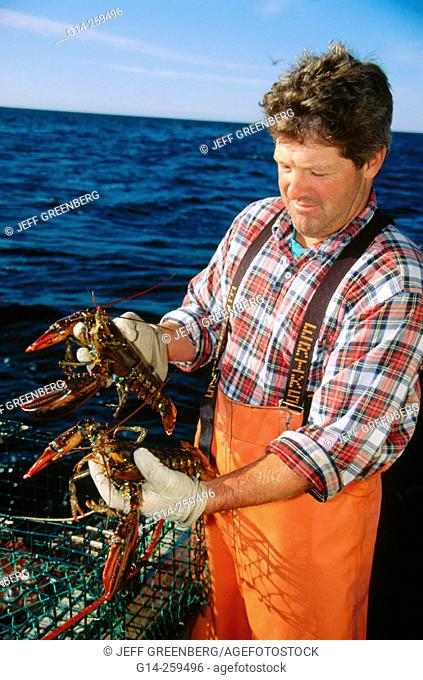 Lobsterman checking size of catch. Quahog Bay, Maine. USA