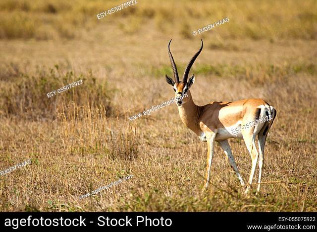 Antelope is standing in the savannah of Kenya, impala is watching