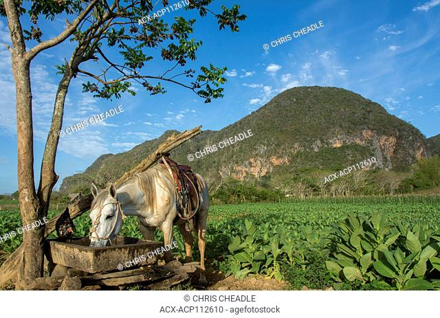 Saddled horse and chickens at watering trough and ripe tobacco plants, Vinales, Cuba
