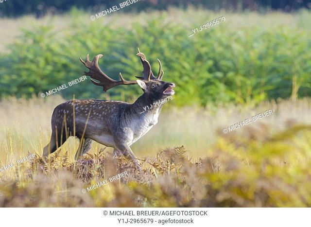 Belling Fallow Deer at Rutting Season, Cervus dama, Hesse, Germany, Europe