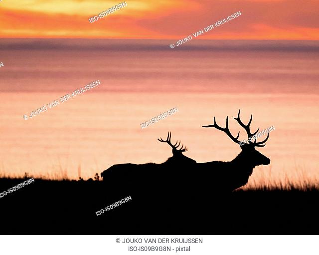 Silhouetted tule elk bucks (Cervus canadensis nannodes) on coast at sunset, Point Reyes National Seashore, California, USA