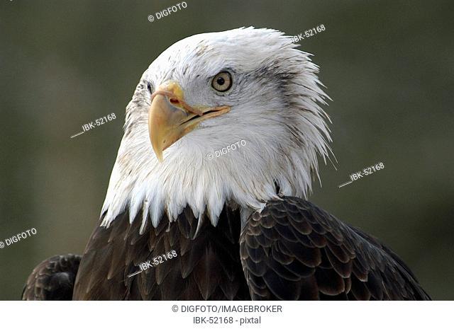 American Sea Eagle (Haliaeetus leucocephalus), portrait