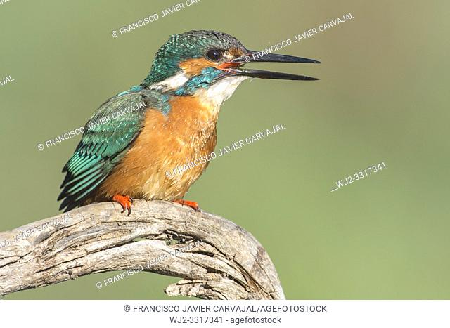 KIngfisher (Alcedo atthis) after catching a crab in the river is swallowing it, Extremadura, Spain