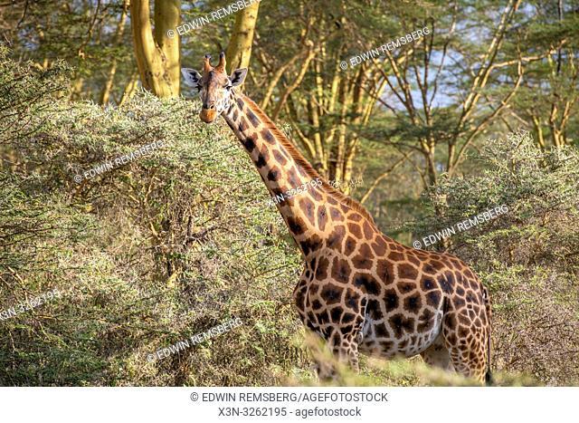A Rothschild's giraffe (Giraffa camelopardalis rothschildi) walking in Nakuru National Park, Kenya