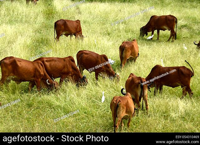 Cows and bulls are grazing on a lush grass field