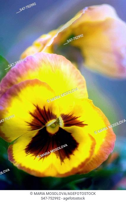 Yellow Pansy. Viola x wittrockiana. April 2008, Maryland, USA