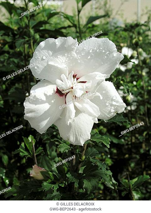 HIBISCUS SYRIACUS MORNING STAR
