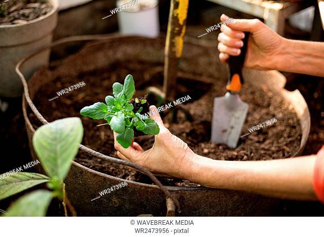 Female gardener planting at greenhouse