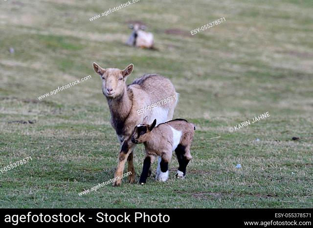 German goat with a baby on a meadow